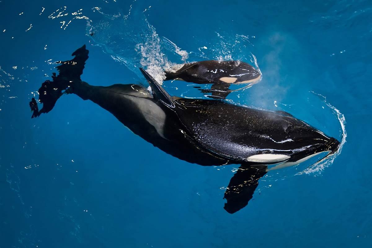 SeaWorld's last baby Killer whale born at Texas Park. https://t.co/wqO73MqICE