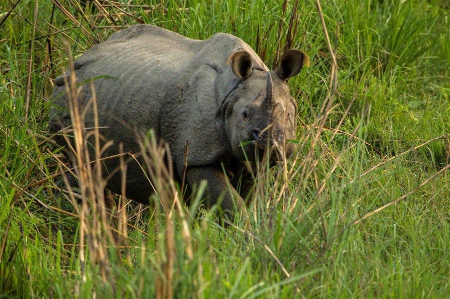 Poachers kill one-horned rhino in Nepal