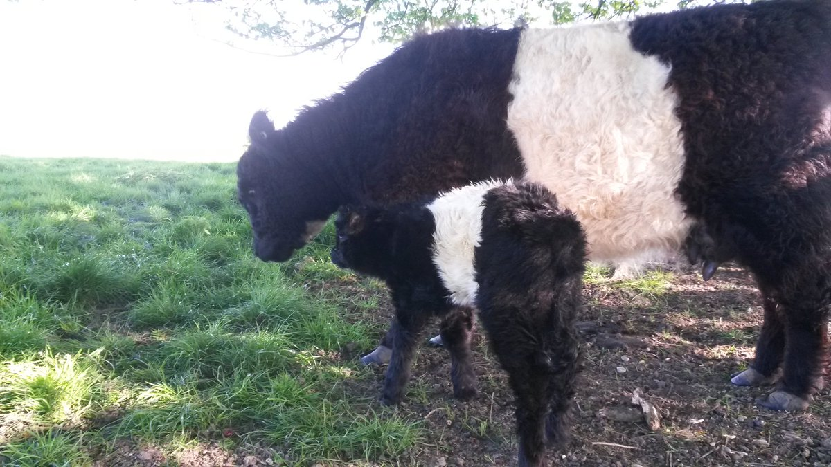 test Twitter Media - Our cow called Surprise produced one this morning - was sure she wasn't in calf this year! https://t.co/b2sxLrR2lw