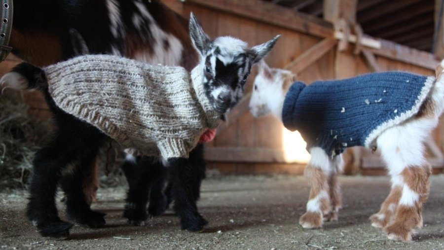 Baby goats in sweaters