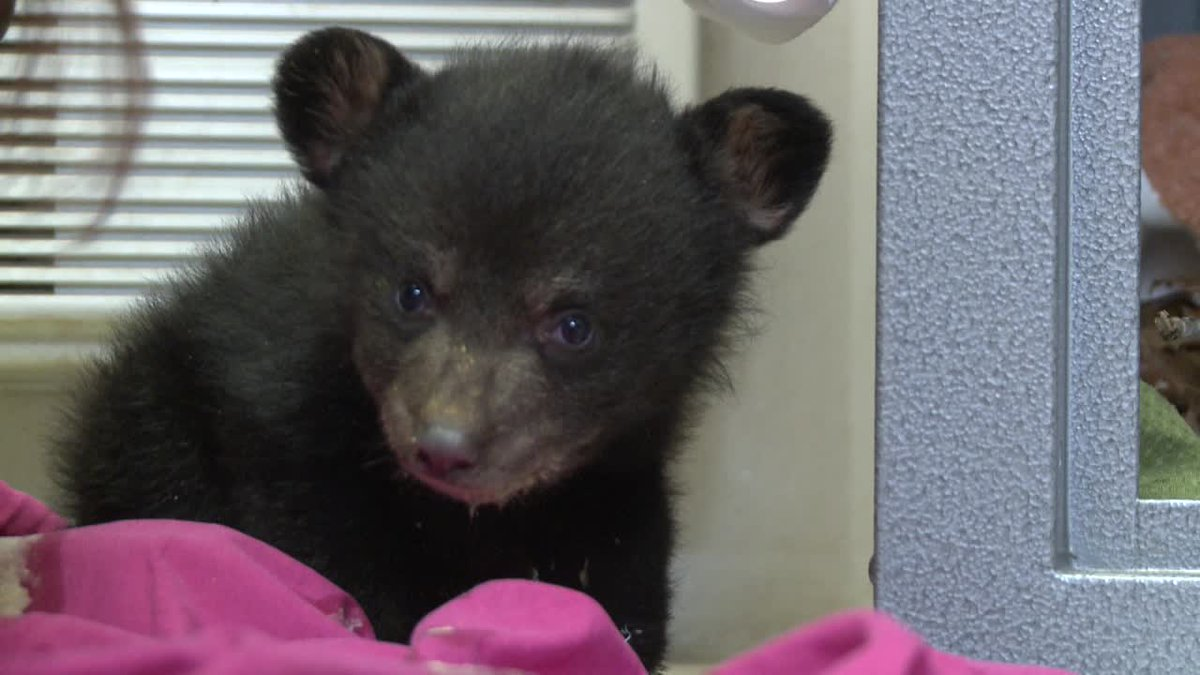 Wildlife center receives 2 bear cubs to raise for next year