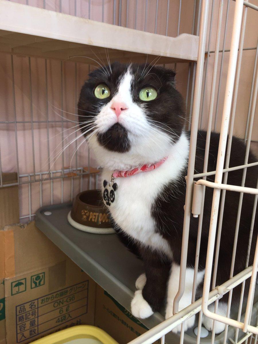 【猫スタッフお知らせ】誠に残念なことに、スコティッシュフォールドのちょびちゃんも体調を崩し、今後猫カフェで勤務させること