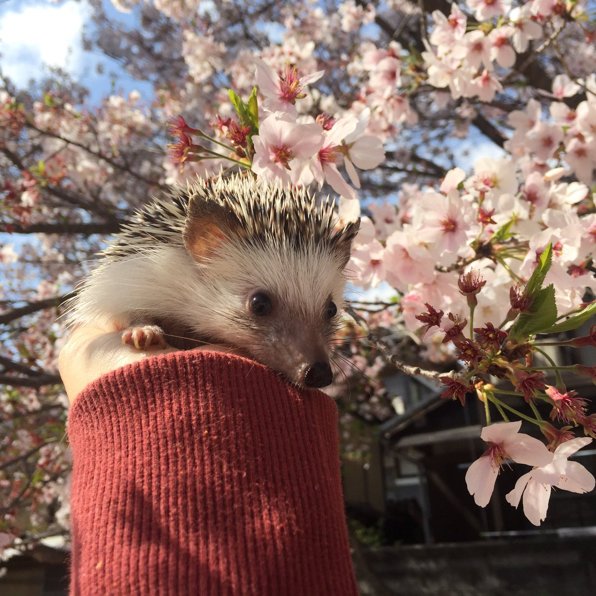 やっとこさ念願のお花見に来れました🌸松太郎は桜吹雪にフシュりながらも、良い写真を撮らせてくれました♡それにしても、風に散