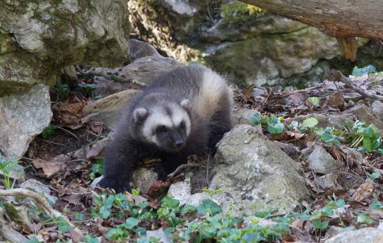Wintry wolverine has cub in Belgium, beating climate-change odds