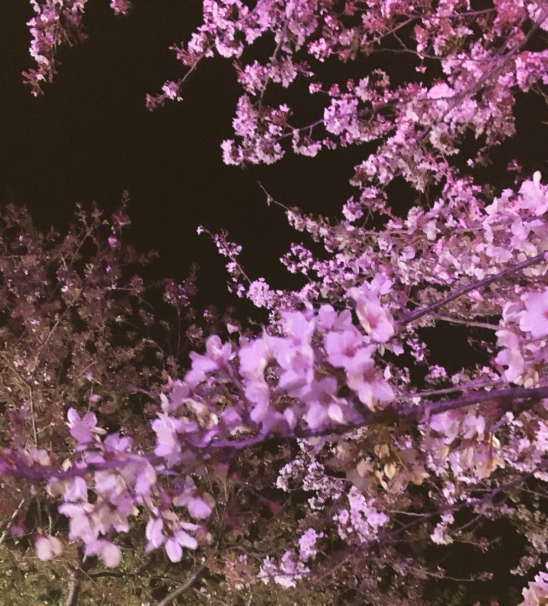 夜桜綺麗だったよ???? https://t.co/4pw4aVThQL