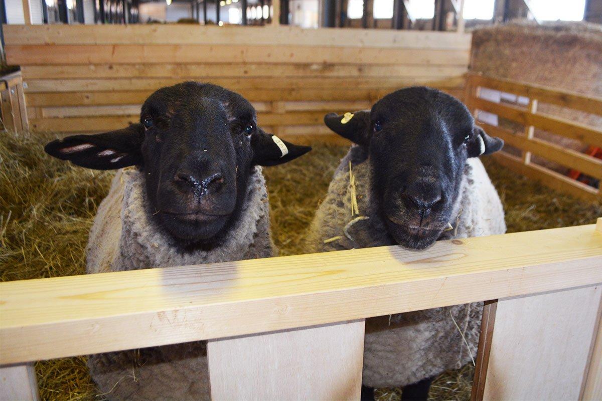 (*´∀`*)※(左)羊太郎・(右)松太郎#北海道 #滝川市 #松尾めん羊牧場