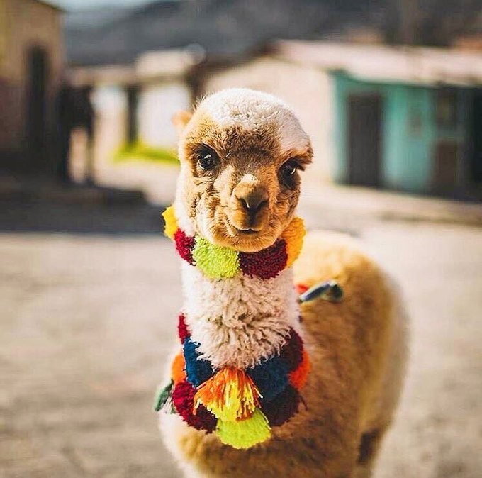 Awwwww 😍 ...Im in love! One day I'll visit Peru 🇵🇪 ✌️ #Travel #BucketList https://t.co/RhMK7P5lWH