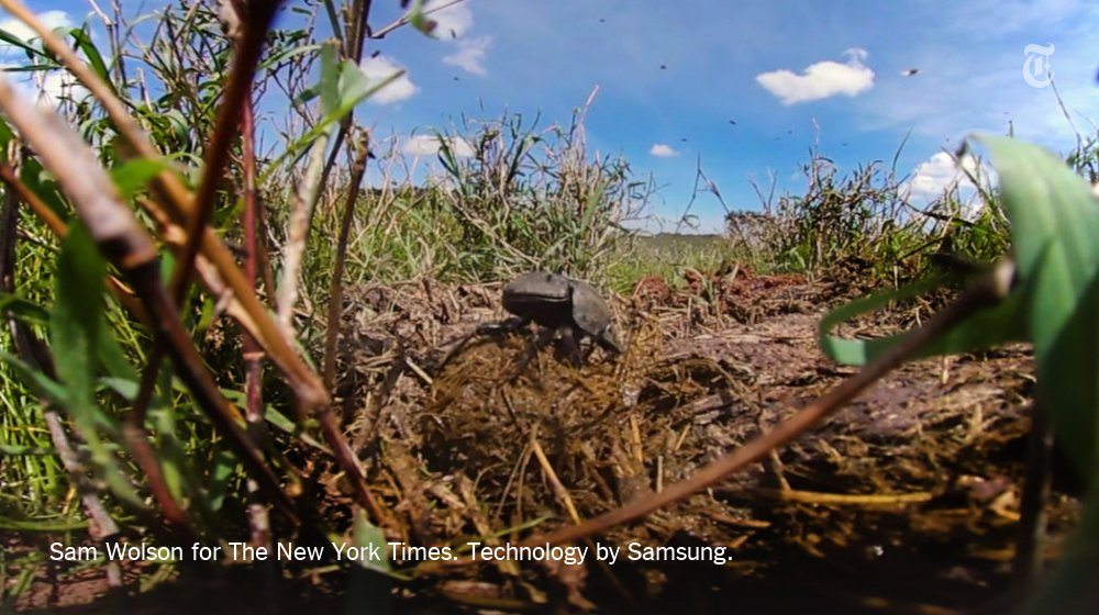 Get an up-close look at how a dung beetle in Kenya prepares a meal