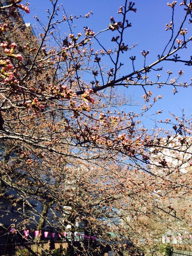 目黒川の桜 もぅ少し♡ http://t.co/Xy3ahPHLpb