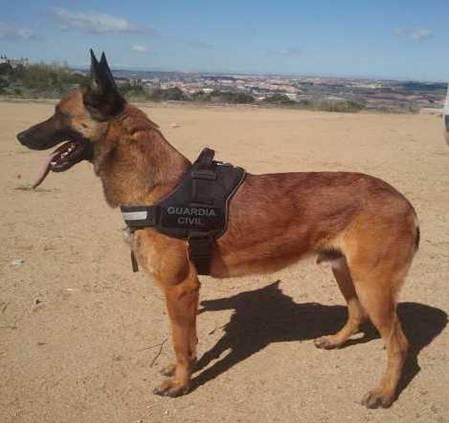 Baco es un perro enérgico y fuerte que tiene servicios excelentes de localización de fugados y desaparecidos.