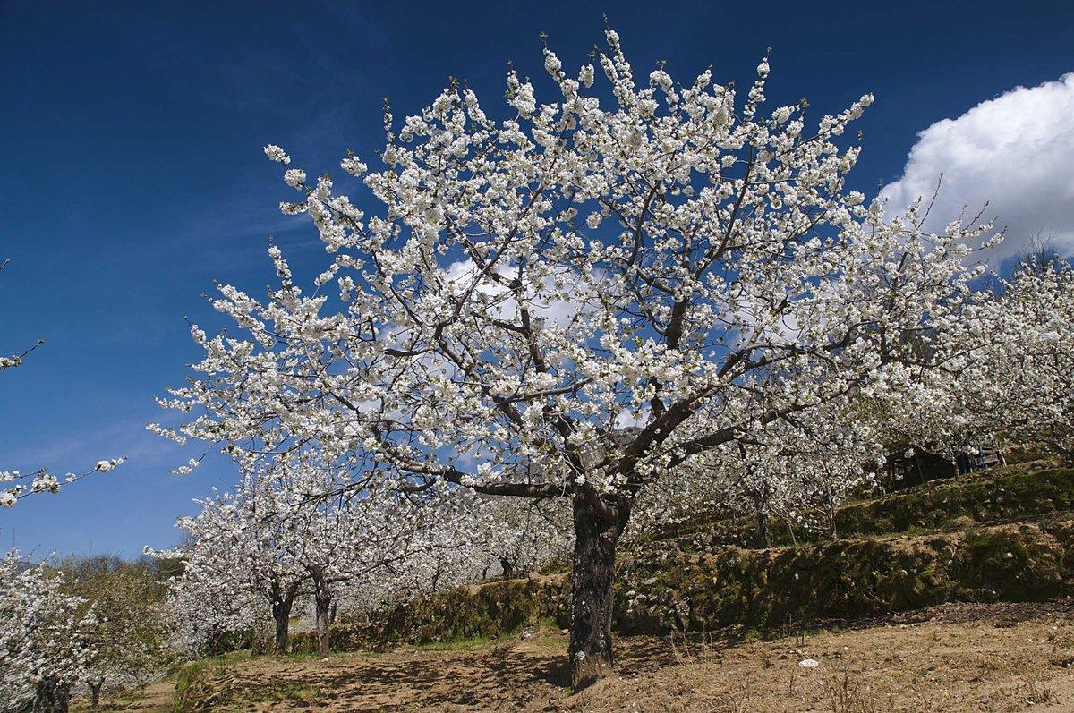 IMAGEN DEL DÍA | La primavera asoma ya por el Valle del Jerte, ofreciéndonos el espectáculo de los cerezos en flor. http://t.co/bjw6IzQ1Em