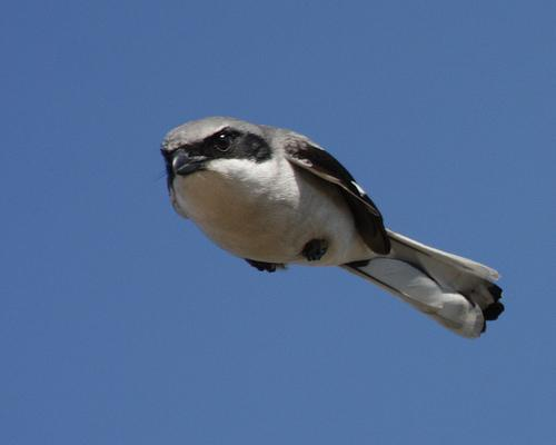 This bird keeps itself in the air by sheer force of anger alone.