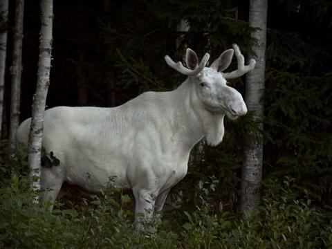 A moose-t see… RT @wildsweden Rare Spirit Moose seen in @sweden! More photos: by T Johansson
