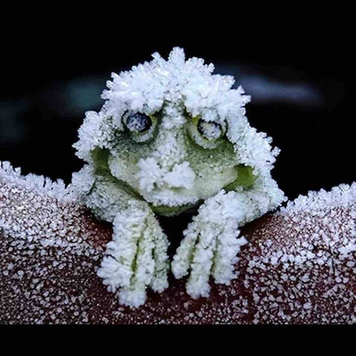 The Alaskan Tree frog freezes solid in the winter, stopping it's heart completely, and then unthaws in the spring. http://t.co/tjY9mnnpuP
