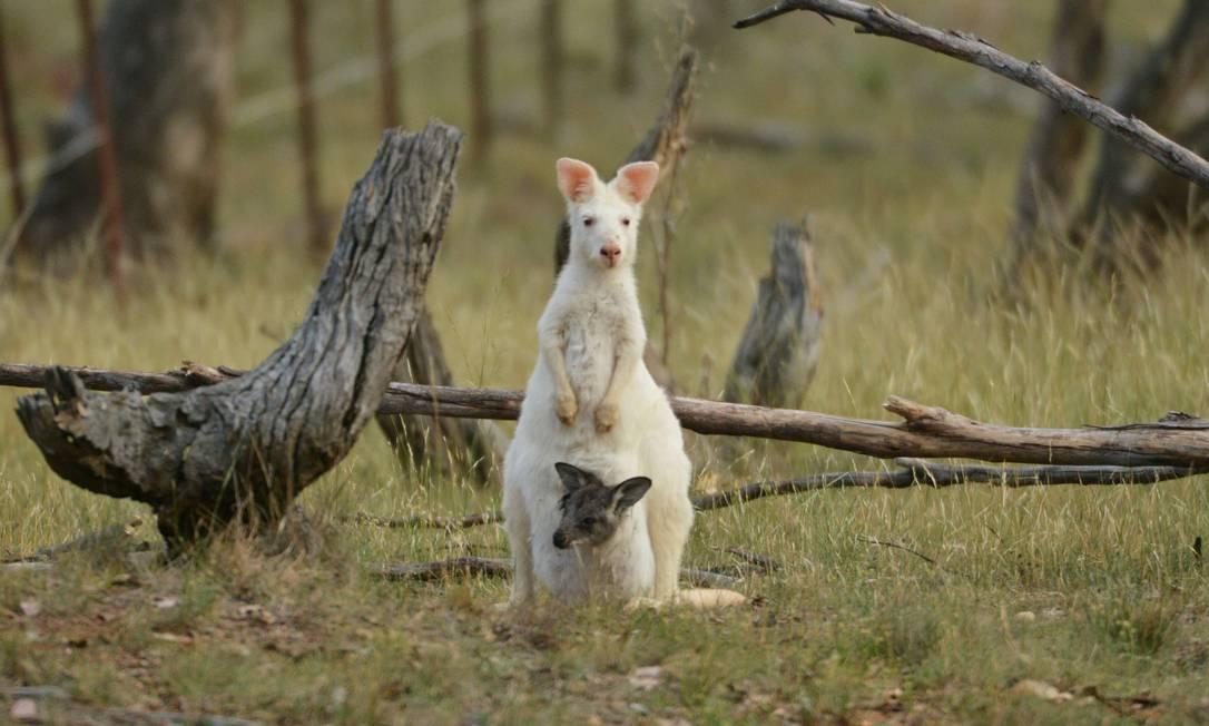 Raro canguru albino é clicado em floresta australiana. http://t.co/wFeS4sJAzi