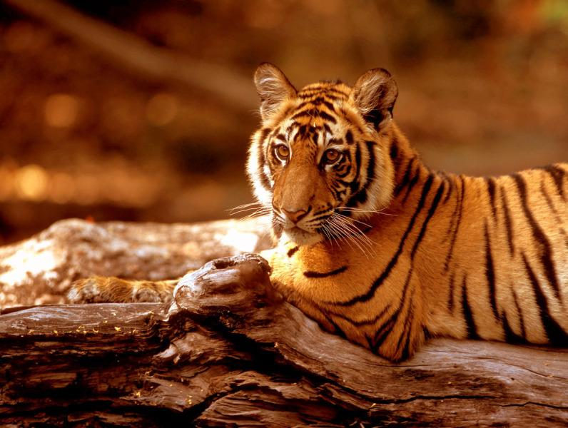 Triple donation day! Donate £5 to WWF_UK by texting TIGER to 70123, and we'll triple it! #ProtectATiger http://t.co/kCisCdmNH9