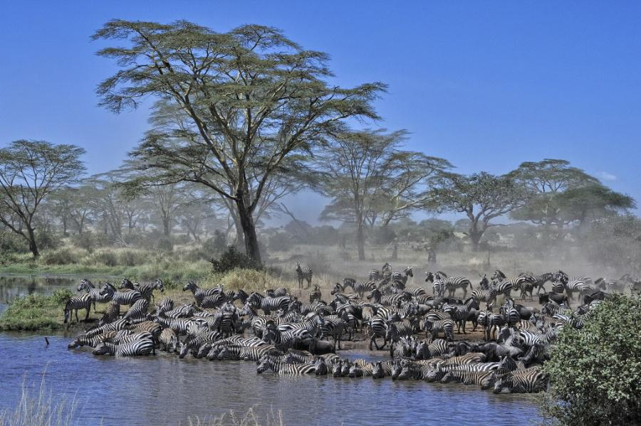 Zebras drinking at watering hole while watching out for crocodiles, Serengeti, Tanzania by Diana Robinson @edacces... http://t.co/2JhC2u7kO6