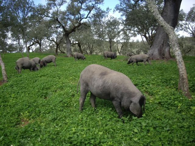 Ibérico pig-slaughtering tradition, rooted in sustainability http://t.co/hrtLhXQKU3 via @NPRFood #ham #travel #Spain http://t.co/RWbTGQMzcX