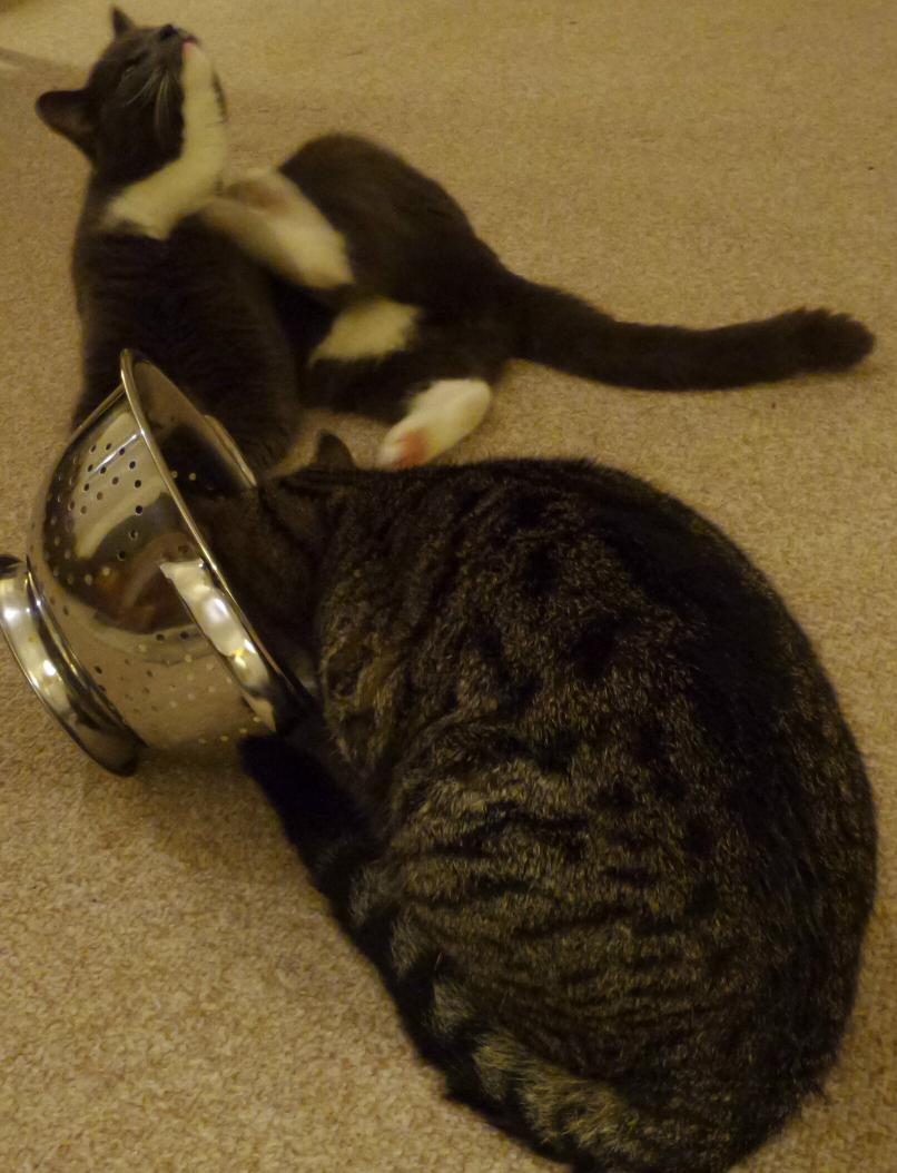 Trying to teach the cats how to safely view tomorrow's eclipse through a colander.   It could be going better. http://t.co/6aLmOWpMaE
