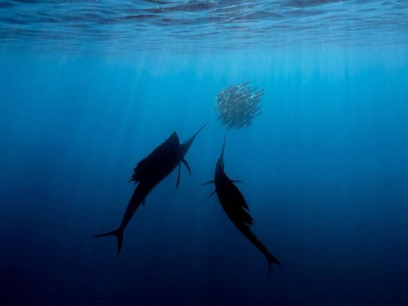 Your weekend #ocean zen. MT SeaviewSurvey Sailfish hunting fish shoals during sardine run in Gulf of Mexico http://t.co/7DjgT8IQAB