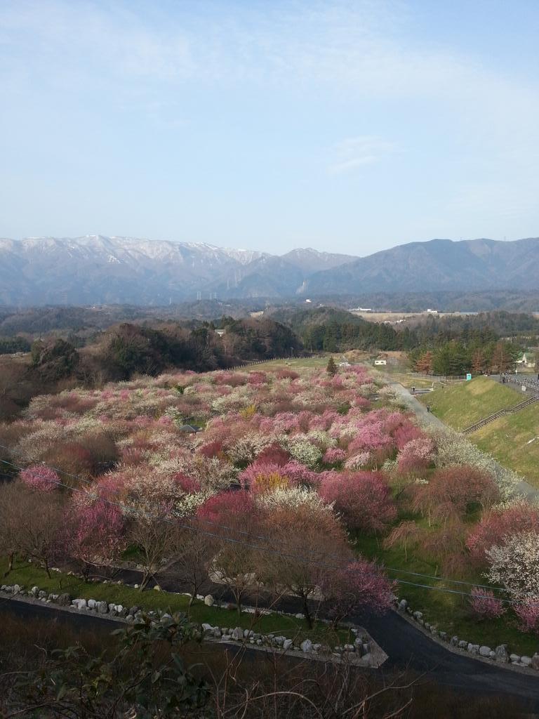 三重県いなべ市梅林公園の「いなべ梅まつり」は見頃です。今日明日はイベントあります。 http://t.co/GQ3eakjDNz http://t.co/Jt8ArKqH8G