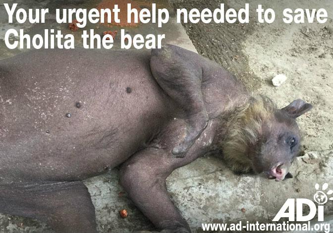 Please retweet and help ADI save Cholita the bear with no hair in Peru  http://t.co/RSu1C0LW0O http://t.co/9O42aH2kaQ #circus