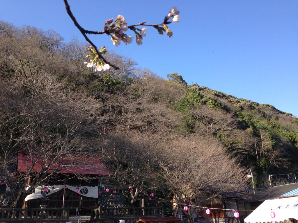 【速報】〜♬ RT @yamasakusen 隊長! 御殿山の桜 咲きました!! http://t.co/7tvjKta53L