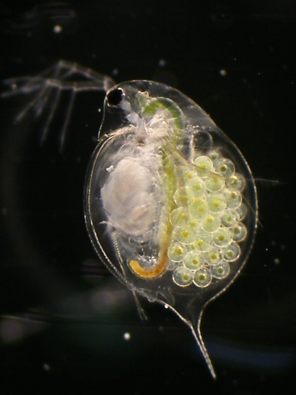 プレスリリース | ミジンコはたった4個体を起源とする北米からの帰化種だった ―日本に生息する生物の意外な由来― http://t.co/NHwkftTz3P #東北大学 http://t.co/7eIIniIPbO