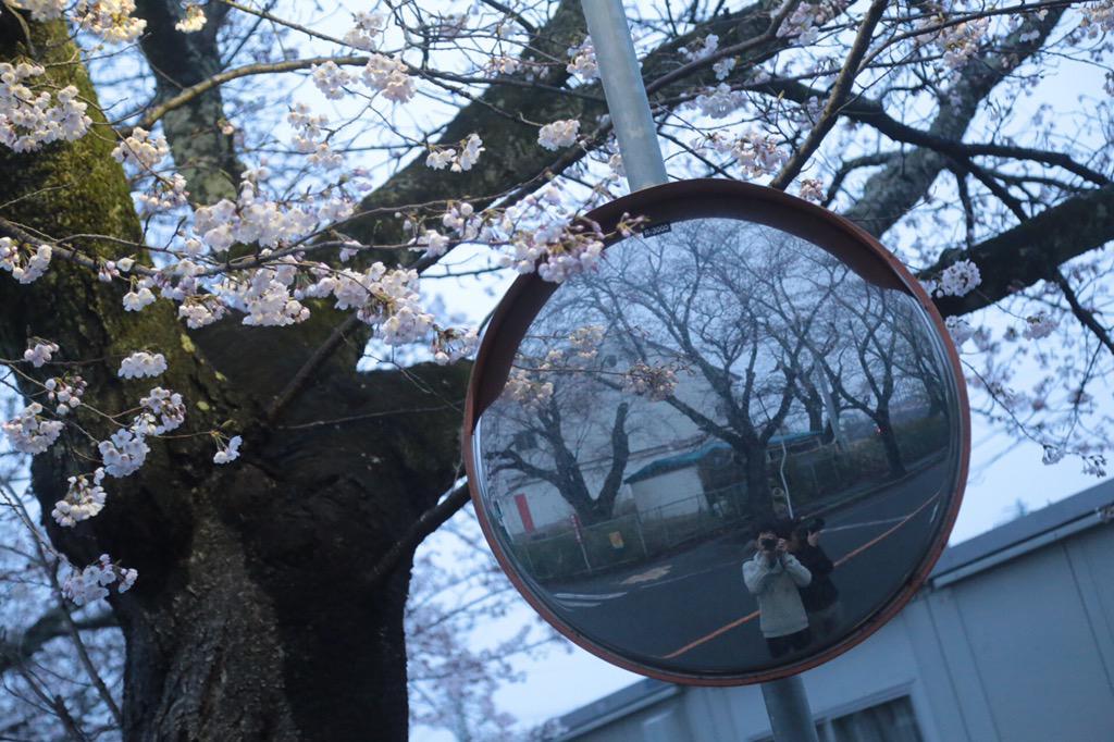 夜ノ森の桜を見てきた。 http://t.co/o0oY35cX6r