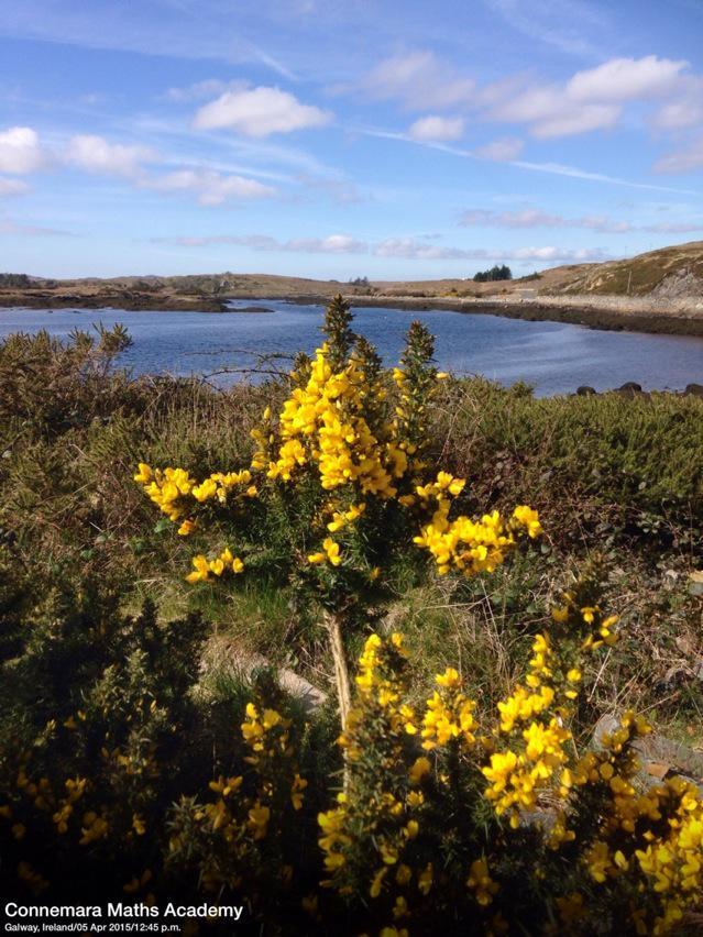 Yellow Gorse Easter Sunday #Connemara #Ireland @wildatlanticway @CashelHotel #WildAtlanticWay http://t.co/Vhmxsbw8nc