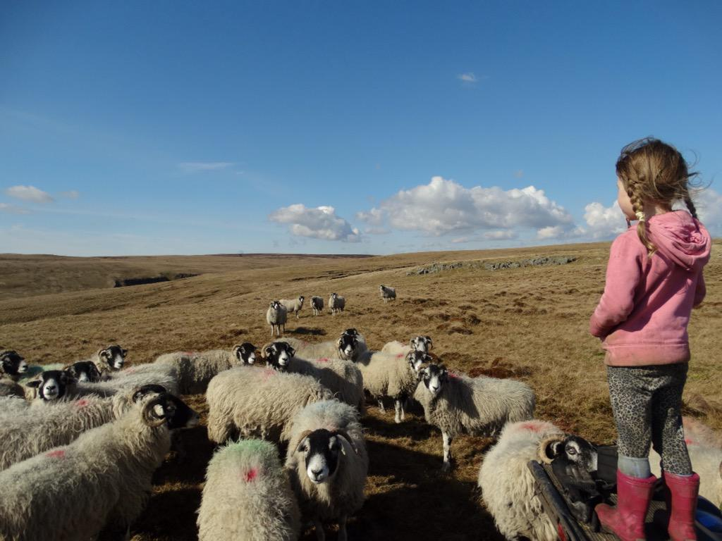 Spring is in the air & the yows spread away grazing further reaches. We summon the flock with a long whistle. http://t.co/ilfRtYJDJ9