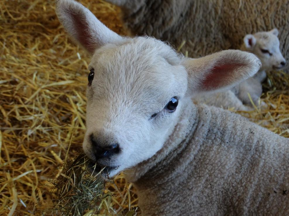 Milk provides their main nourishment but it not long before the lambs are nibbling at hay. http://t.co/q7UAT2lQUD