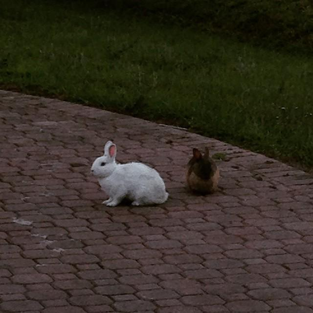 EASTER just passed but we've got real bunnies in our hood. #Easter #bunnies #running #free… http://t.co/cGwnOtc6Yc http://t.co/xkzAjOo5WD