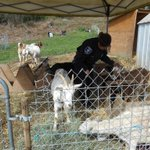 This >> MT @SeattlePD: You herd right! Officers corralled 10 goats after they reportedly chased a group of children. http://t.co/dopHwhs84L