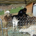 You herd right! Officers corralled 10 goats after they reportedly chased a group of children near 50/S. Wallace. http://t.co/RvBDQ8MzTY