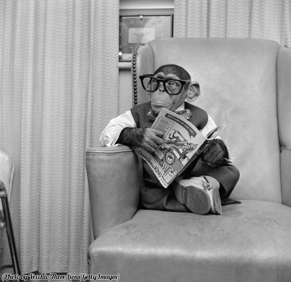Young chimpanzee Kokomo Jnr and his comic book, New York, 1955.