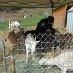 Youve goat to be kidding. @SeattlePD wrangles 10 wayward goats reportedly chasing human kids http://t.co/4c02UL5COc http://t.co/psN7w8W4vA