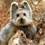 Ili Pika, a mysterious rabbit-like mammal more rare than a panda http://t.co/k7cYHInY7c http://t.co/ZEDTiobMgR