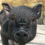 Mini-porca é proibida de entrar em pubs porque fica bêbada. http://t.co/OpQdfzw4fk [@BlogPageNFound] http://t.co/Urex5kXTZA