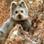 中国北西部イリ・カザフ自治州の天山山脈に約1000頭しかいない「魔法のウサギ」、イリナキウサギ(イリピカ)は、絶滅が懸念されています(英語記事) 。 RT @BBCNewsAsia: http://t.co/oRAJtzCHNB