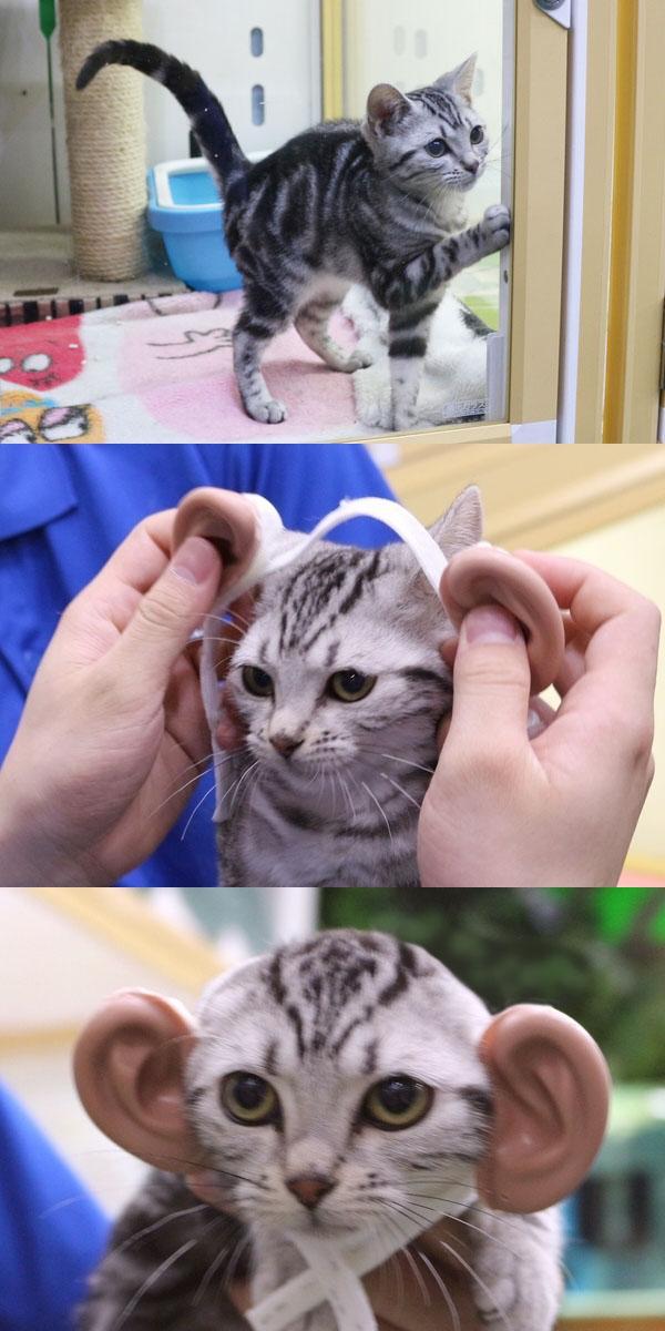 人に猫耳をつけねとかわいくなりますが、猫に人耳をつけると全然かわいくなくなりました。 / 【検証】猫耳とは逆に『人の耳』を猫に付けたら可愛くなるのか!? http://t.co/PaHL8sUyd1 http://t.co/z2s5JcAK06
