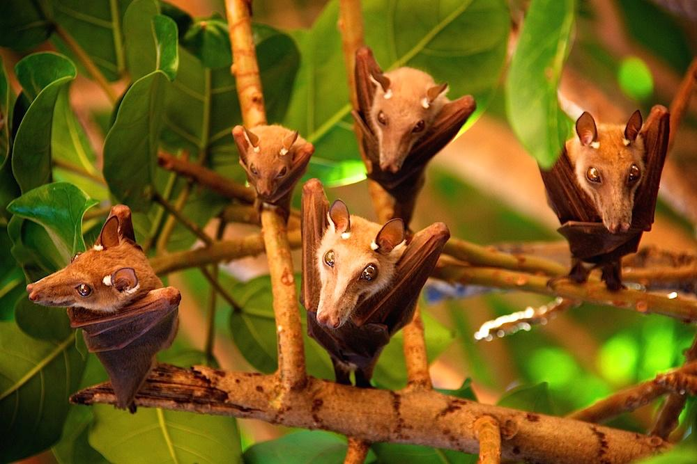 Fruit Bats Hanging In A Mango Tree by Simon Fenton http://t.co/Dha0uSLIlj @eyebooks #wildlifephotography #senegal http://t.co/01xpVnWBjv