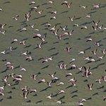 #Aerial pinks & shadows flamingoes take off from #Kenyas #Rift Lake Logipe @MagicalKenya @KenyaPics #KOT #Nairobi http://t.co/BWob9QUAie