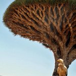 Dragon Blood tree. (the sap is red). Posting photos from my life in Yemen. This one from Socotra island. 2010. http://t.co/cPuchpRZ69