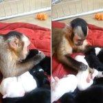 """""""@g1: Macaco vira hit após ser filmado fazendo carinho em filhotes de cães http://t.co/MF4FkEIbsd #G1 http://t.co/m8VBxMWt39""""????"""