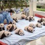 Есть такая профессия — панд по одеялу раскладывать. Просто знай. http://t.co/6fCXDFjwjS