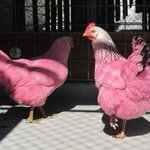 Are these your pink chickens? Call Multnomah County Animal Control http://t.co/vKZup2caeW http://t.co/xIrLVzJD4T