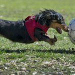 @malinda_b RT @KCStar: Dali the mini dachshund plays soccer Thursday in Roanoke Park. Star photo by Keith Myers http://t.co/6GsGHhOWdi