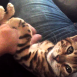 Adorable Bengal kitten holds better conversations than most people. http://t.co/kiDba7D8q5 http://t.co/8bLetIt2nI