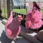 ta famosa @raxaela RT @g1 Autoridades apreendem duas galinhas rosas em parque nos EUA http://t.co/d6RJy3y7ZK #G1 http://t.co/Ks2G5Lvp72